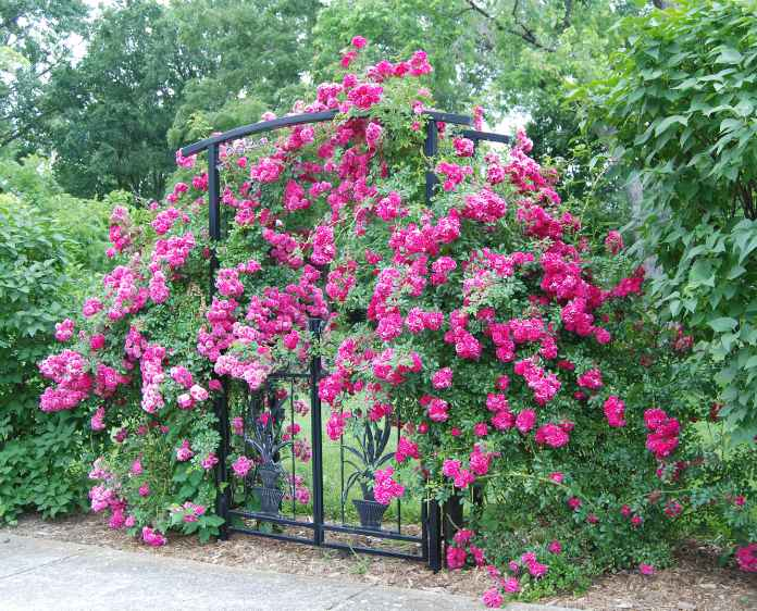climbing bright pink roses on an iron gate