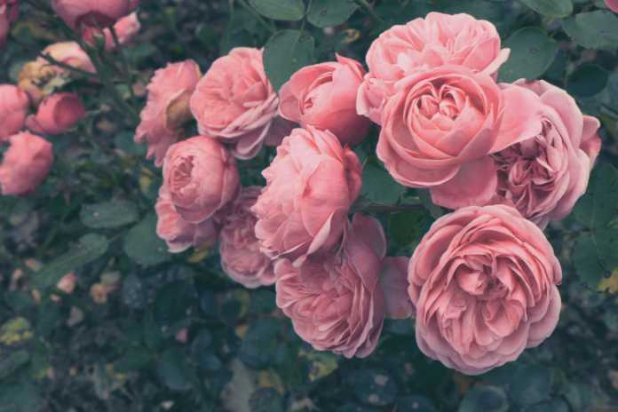 Shrub roses can just be lightly trimmed