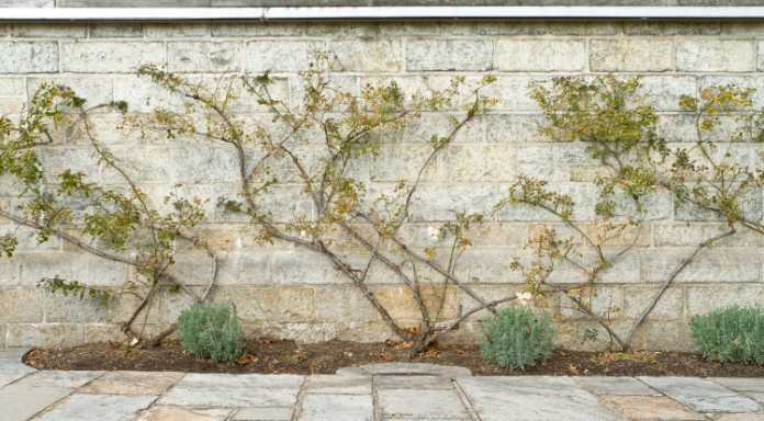 Pruning roses on the wall