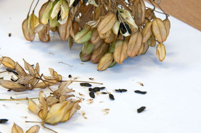 Seed collecting drying seeds out