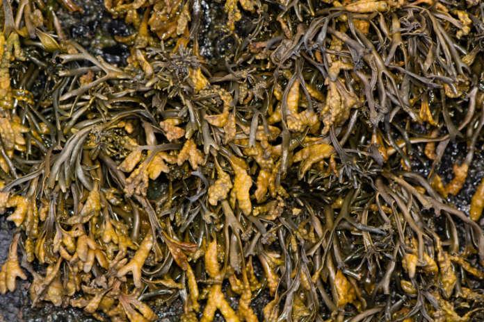 Soil enricher seaweed