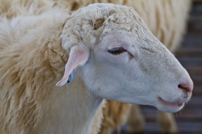 Soil enricher sheep's wool