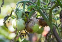 Tomato blight can ruin your crop