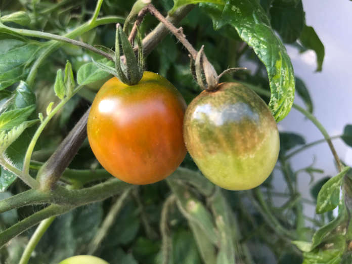 Tomato blight brown fruit