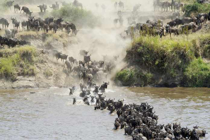 a group of wildebeest crossing the Mara river in northern Tanzania, Africa