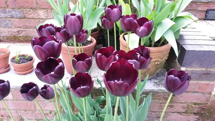 Tulips in pots