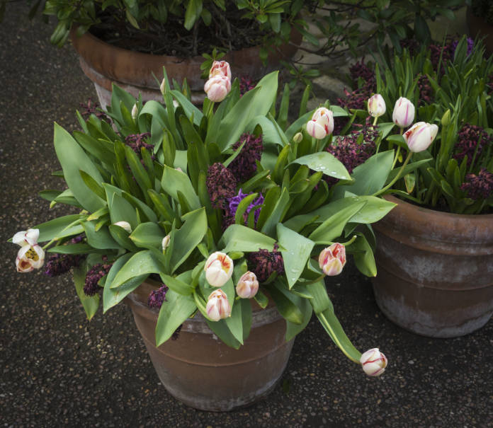 Flower pot with tulips during spring in a garden in the English city of York.