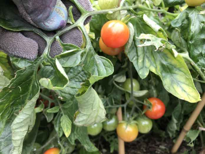 Ripen tomatoes on the vine