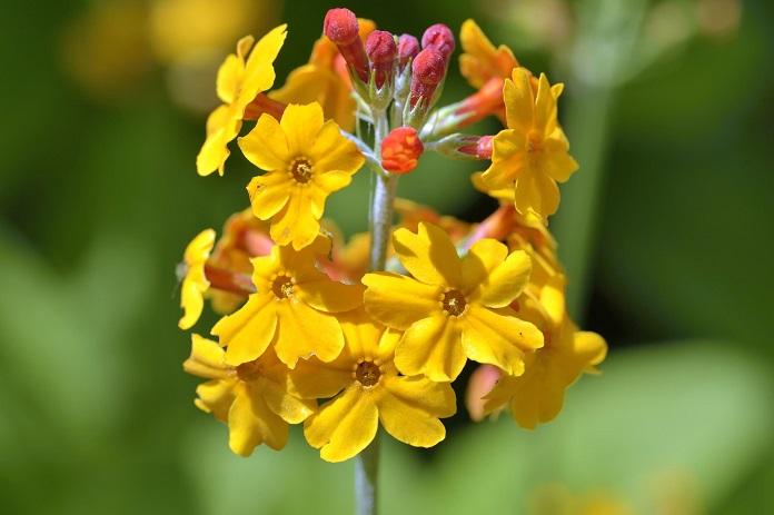 primula flower care