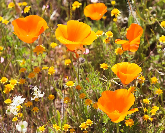 Drought tolerant plants - Californian poppies