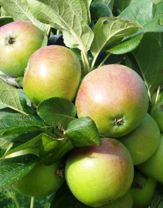 Peasegood Nonsuch apple