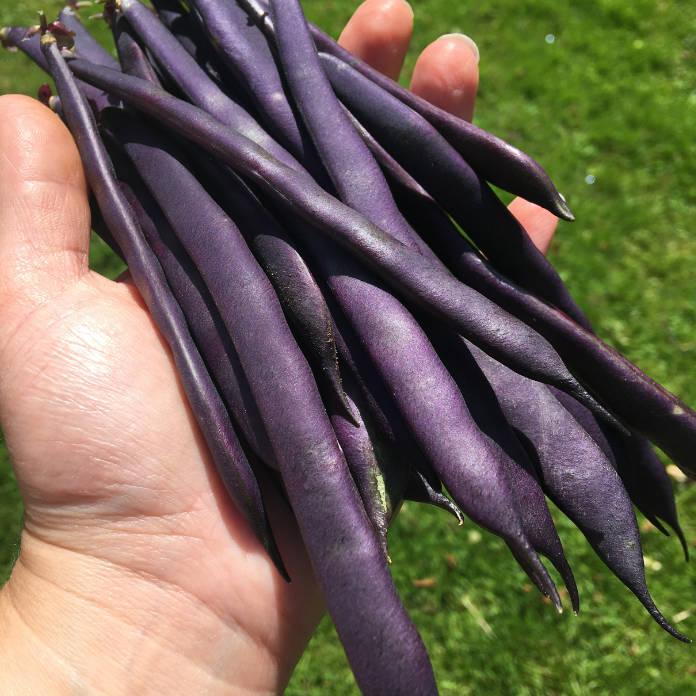 French bean 'Blue Beans'