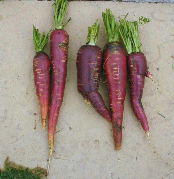 Afghan purple carrot