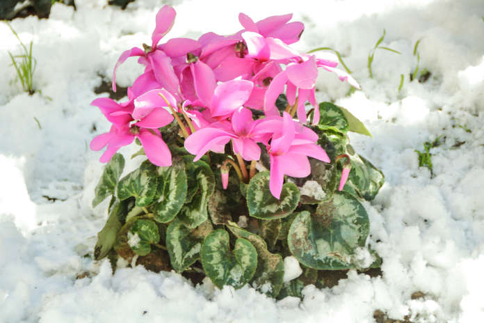 cyclamen plant and flowers showing up in snow