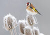 Architectural plants for the garden European Goldfinch resting in its habitat at winter time