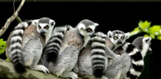Endangered natural wonders lemur monkeys on a tree