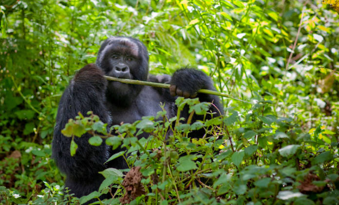 Lonely planet best conservation awards gorillas in Rwanda