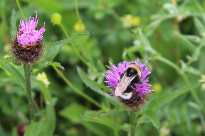 Bees love knapweed