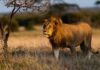A lion in the Naboisho conservancy (Sarah Marshall/PA)