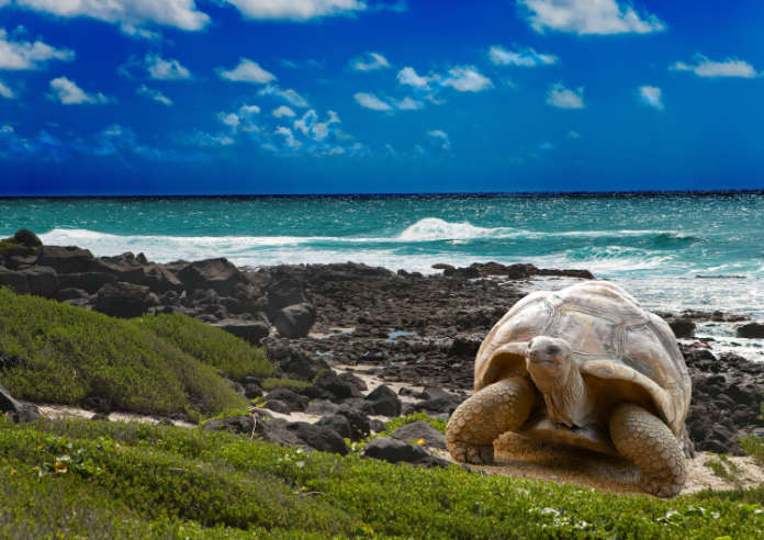 A giant tortoise, one of the famous inhabitants of the Galapagos Islands