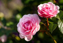 How to plant bare-root roses
