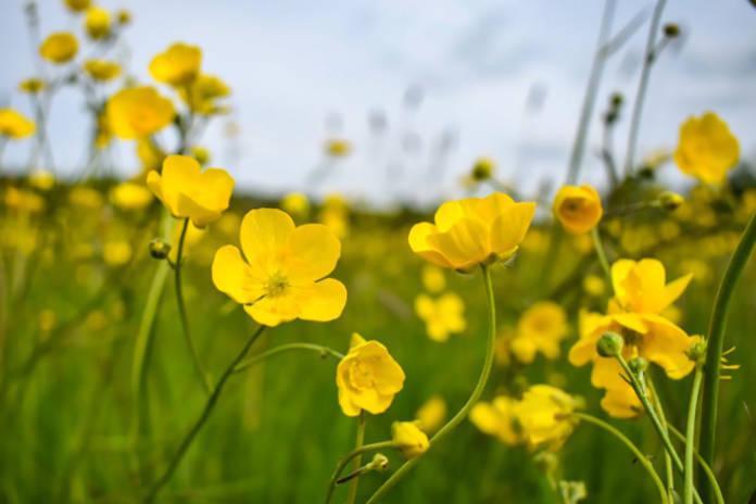 Buttercups Wildflowers in field