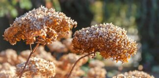 Dried hydrangea flowers can look lovely in winter