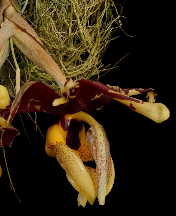 Flower stems of stanhopeas grow downwards (Royal Botanic Gardens Kew/PA)