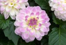 British garden plants Dahlia Gardenetta 'Lavender Swirl'