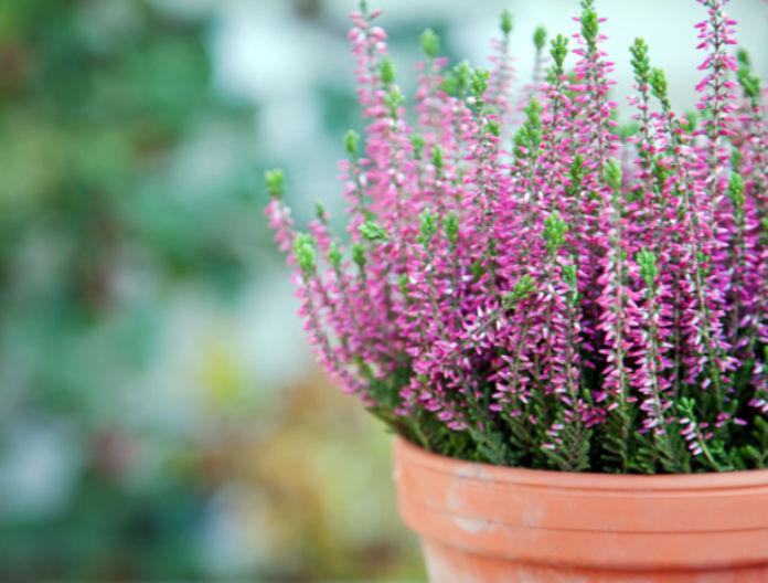 Classic British plants heather
