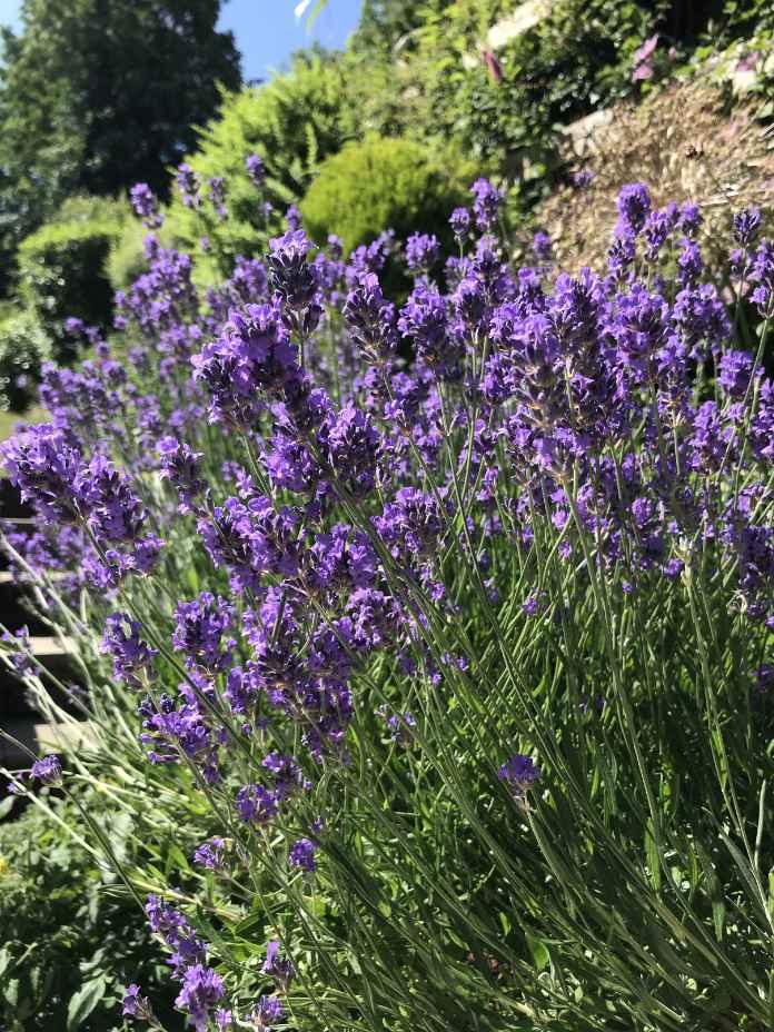 British lavender is a classic garden plant