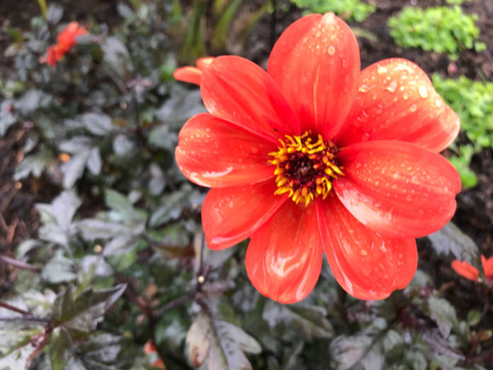 Dahlias are back in vogue