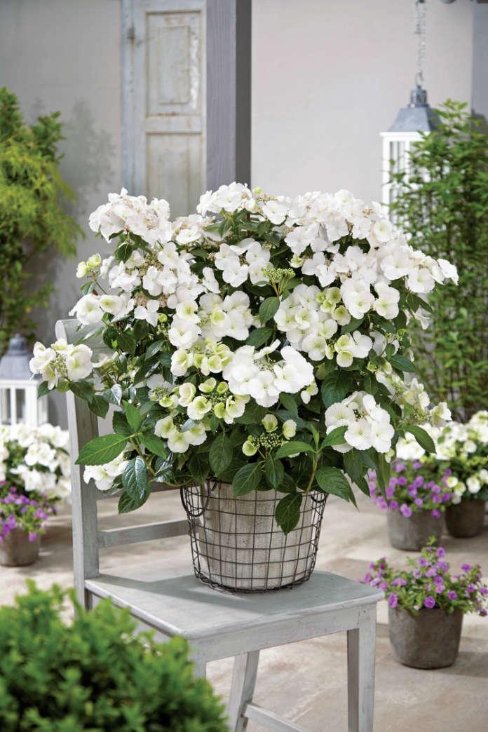 Hydrangea 'Runaway Bride' looks great in a pot