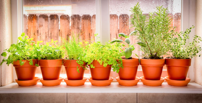 Variety of fresh herbs in terra cotta pots in a window sill.