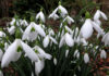 Where to see snowdrops near me Snowdrops in Rococo Garden.