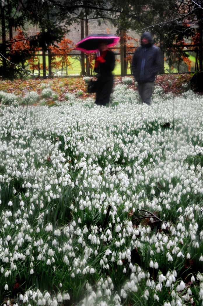 Snowdrops at Rococo Gardens