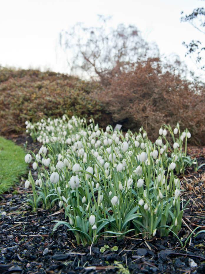 Specialist snowdrops in Edinburgh. (Royal Botanic Garden Edinburgh/PA)