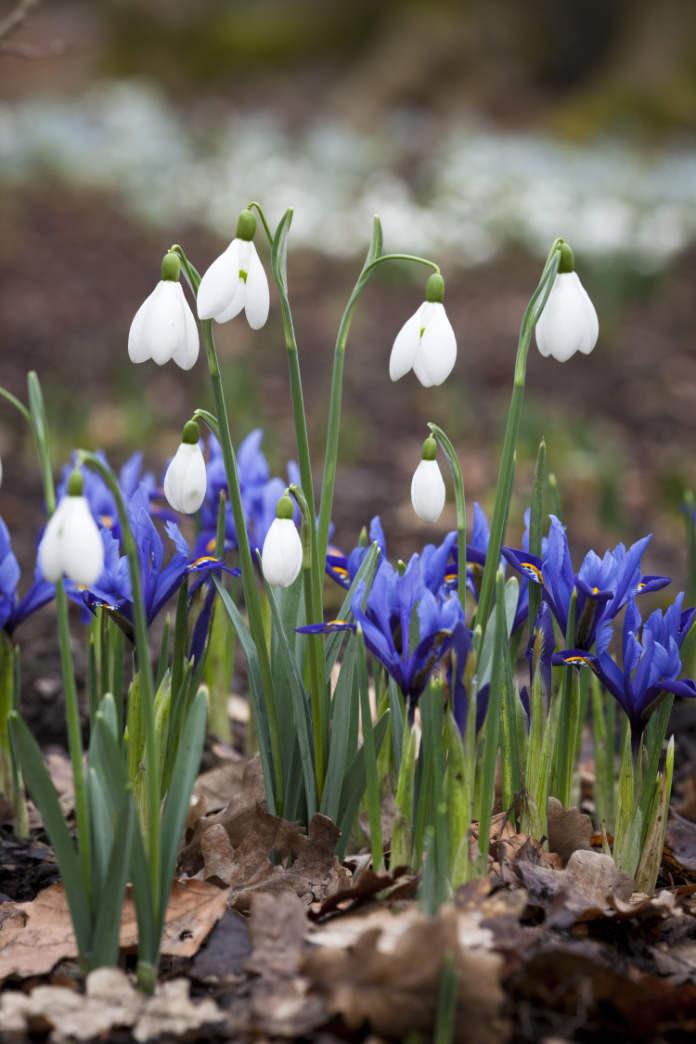 Iris reticulata and snowdrops at Dunham Massey.