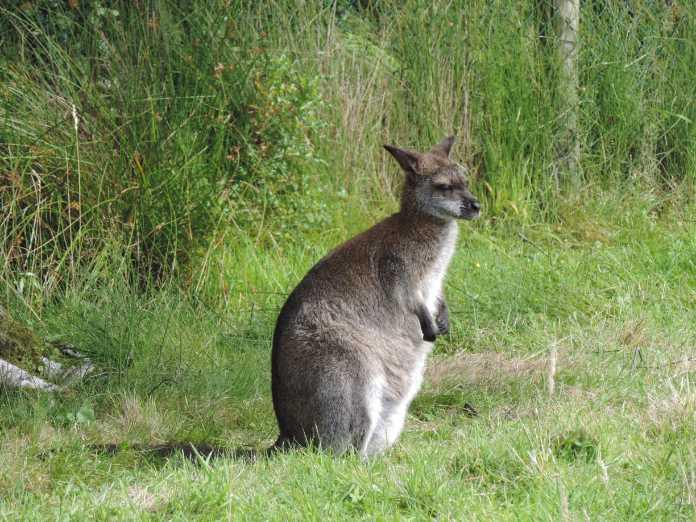 Kangeroo on the Isle of Man