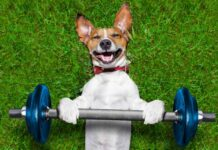 Fun exercises to do with your dog – super strong dog lifting bing blue dumbbell bar