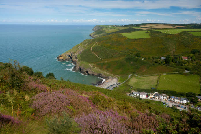 Cwmtydu Beach and coastline in summer with heather in foreground Ceredigion Mid Wales UK.