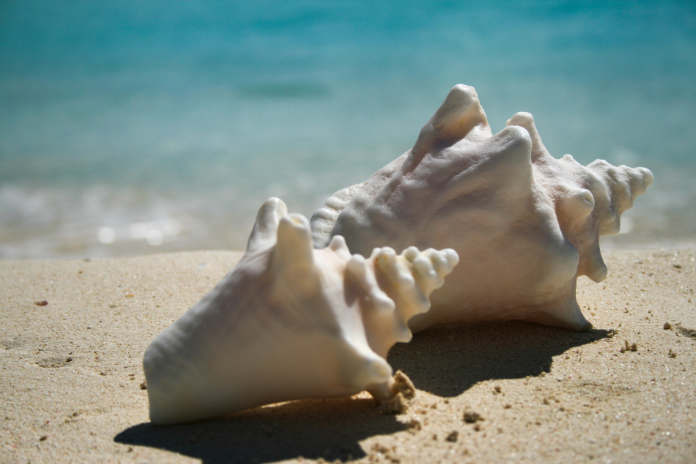 Close up of Conch shells in Anguilla on the beach at Cap Juluca