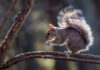 Squirrel proof bird feeders Grey Squirrel eating a nut on a woodland tree branch in Spring sunshine
