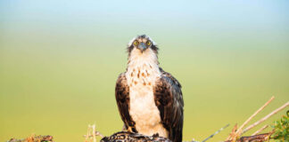 Adult Osprey, Pandion haliaetus, sitting in the nest with two chicks hiding low