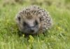 Common dangers to hedgehogs in our gardens