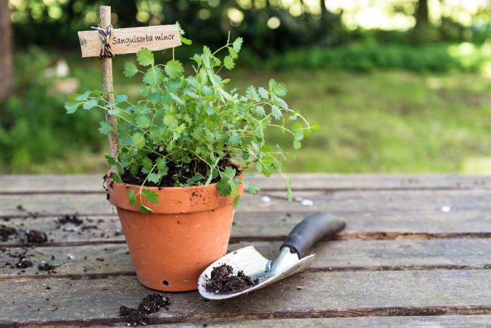 Potted salad burnet (Sanguisorba minor) with a wooden plant marker and a planting shovel on a rustic wooden table in the garden, copy space, selected focus