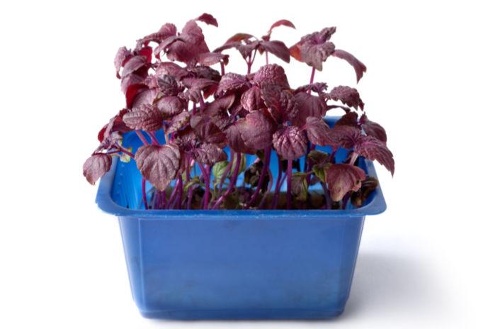 Purple Shiso Isolated on White Background