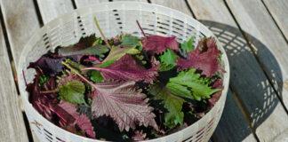 best fresh herbs for salad Purple shiso perilla herb