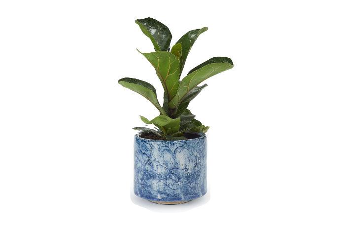 Blue home plant