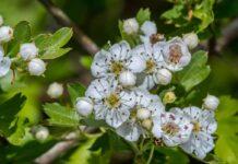 Hawthorn plant reducing air pollution